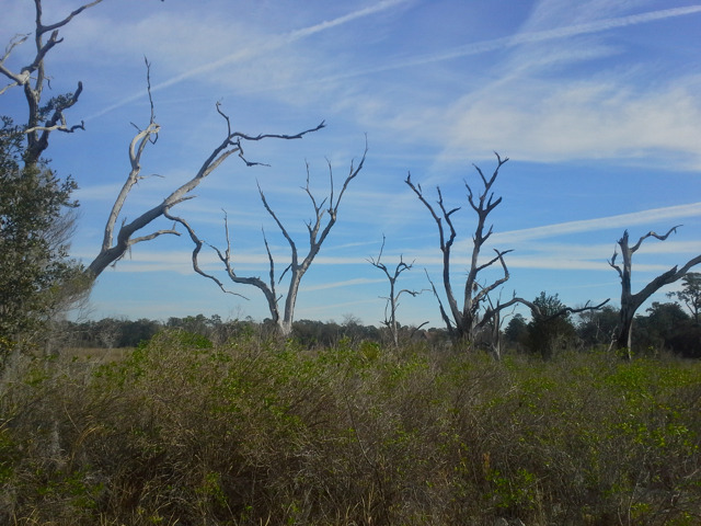"""""""He went that-a way!"""" Bare trees  on the marsh pointing towards Bonaventure."""